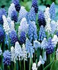 MIXED GRAPE HYACINTH HARDY FLOWER BULBS EASY GROW PERENNIAL GARDEN PLANT MUSCARI