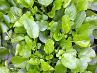 LAND CRESS Similar to Watercress. ORGANIC SEED. Rich in vitamins and minerals.
