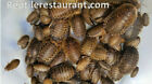 Dubia  Roaches 100 Count XS Sm Med or Large Sizes Free and Fast Shipping