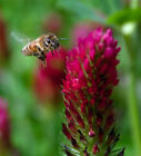 """Crimson """"Dixie"""" Clover seed, Inoculated. Feed Bees, Cover Crop, No-Till!"""