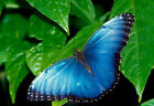 New Blue Butterfly Canvas Print Wall Art Premium  Picture Photo