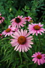 ECHINACEA PURPUREA CONEFLOWER SEEDS 150 SEEDS FROM99p