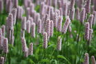 Persicaria Bistorta Seeds - Common Bistort   Perennial Flower HP