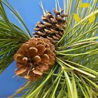 RED PINE Pinus Resinosa - 10+ SEEDS