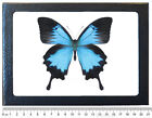 REAL METALLIC BLUE INDONESIAN PAPILIO ULYSSES FRAMED BUTTERFLY INSECT