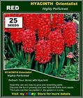FLOWER  SEEDS - HYACINTH Orientalist* 25x RED SEEDS Highly Perfume