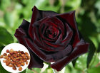 50 Black Baccara True Blood Hybrid Tea Rose Seeds, Exotic Rare Rose Flower Plant