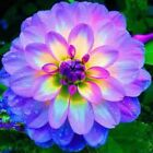 dahlia,dahlia flower vary Colors Dahlias Seeds For DIY Home Garden free shipp...