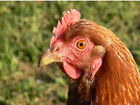 POULTRY PASTURE Grass Seeds & Clover Seed for Hens, Chickens, Ducks & Geese