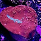 """Hell's Lake Chalice Coral 4"""" --  Ultra Live Coral /  Reef Tank WYSIWYG"""