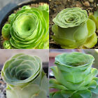 80PCS Succulents Seeds Rare Sun Fire Festival Rose Ball Potted Plant Seed Decor