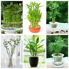30PCSLucky_Bamboo Home Garden Plant Seeds Variety Dracaena Seeds Bonsai Potted
