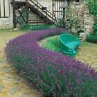 Munstead Lavender Plants, 1L (not 9 cm) potted plants very fragrant not plug