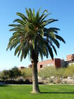 Canary Island Date Palm Live Plant Easy To Grow 7-12 Inches Tall 1-2 Years Old