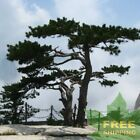 CHINESE RED PINE Pinus Tabuliformis - 10 SEEDS. FREE S&H