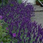 12 x LAVENDER HIDCOTE (ENGLISH LAVENDER) QUALITY PLANTS IN 9cm POTS (NOT PLUGS)