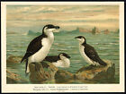 Antique Bird Print-RAZORBILL-LITTLE AUK-TORDALK-Plate XII.16-Naumann-1896