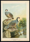 Antique Bird Print-ROCK PARTRIDGE-STEINHUHN-Plate VI.16-Naumann-1896