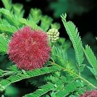 Mimosa pudica - Sensitive Plant -  Tropical  seeds