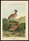 Antique Bird Print-HAZEL GROUSE-HASELHUHN-Plate VI.8-Naumann-1896