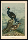Antique Bird Print-BLACK GROUSE-BIRKHUHN-Plate VI.9-Naumann-1896