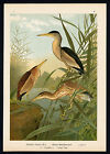 Antique Bird Print-LITTLE BITTERN-ROHRDOMMEL-Plate VI.25-Naumann-1896