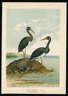 Antique Bird Print-BLACK STORK-SCHWARZER STORCH-Plate VI.31-Naumann-1896