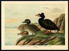 Antique Bird Print-SURF SCOTER-BRILLEN-ENTE-Plate X.25-Naumann-1896