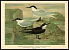 Antique Bird Print-GULL BILLED-SANDWICH-SOOTY-TERN--Plate XI.14-Naumann-1896