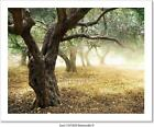 Old Olive Trees  Art Print Home Decor Wall Art Poster - C