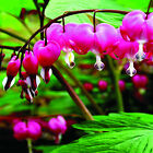 10 Bleeding Heart Seeds Dicentra Flower Plant Perennial Herbs Easy to Apply