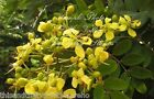 Cassia siamea Kassod Tree Seeds Sunny Yellow Blooms Popcorn Scented Leaves!
