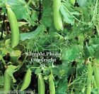 Sugar Daddy Pea Seeds Non GMO Sweet Round Pods Fresh or Frozen Shell or Pod use