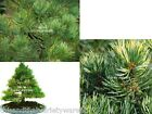 Pinus parviflora Japanese Five Needle Pine Seeds Irregular Form Bonsai-Standard