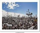 Cotton Field Ready To Harvest Art Print Home Decor Wall Art Poster - C