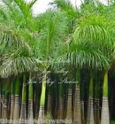 Roystonea regia Royal Palm Seeds New Harvest Exotic Tropical Plant Gardening