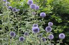 Echinops ritro 'Veitch's Blue' : a garden tested, hardy perennial -globe thistle