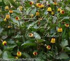 Spilanthes acmella Tropical Herb seeds Panicled Spot Flower Toothache plant