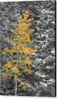 Aspen Tree in Snowstorm Autumn Professional Photograph Print Photo Poster Canvas