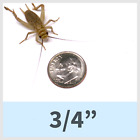 Live Crickets! Different sizes and quantities! фото