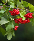 Guelder Rose - Viburnum opulus (Hedging/Shrubs/Seedlings)