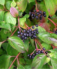 Dogwood - Cornus sanguinea  (Hedging/Shrubs/Seedlings)