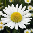 earthessence GERMAN CHAMOMILE ~ CERTIFIED 100% PURE ESSENTIAL OIL ~ Therapeutic.