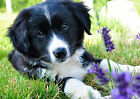 p79 Personalised poster made to order custom special present Border collie puppy