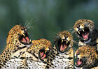 p236  Personalised poster made to order custom special present funny Leopards