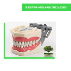 Replacement Teeth Typodont 860 (5 pack) Compatible With Columbia Brand