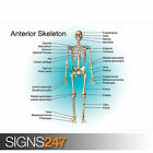 EDUCATIONAL ANTERIOR SKELETON POSTER SET (1051) Poster Print Art A0 A1 A2 A3 A4