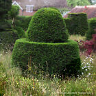 Taxus Baccata Yew Hedging Plants Bare Root 30-50cm x 25 Plants