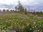 ANCIENT BRITISH MEADOW WILD FLOWER RARE GRASSES  70/30 mix 10g to 20kg MIX 71
