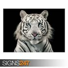 WHITE TIGER BENGAL TIGER (3806) Animal Photo Picture Poster Print A0 A1 A2 A3 A4